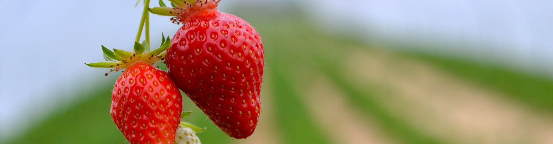Frühe Erdbeeren aus dem geschützen Anbau