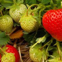 Erdbeerpflanzen für Hausgärten